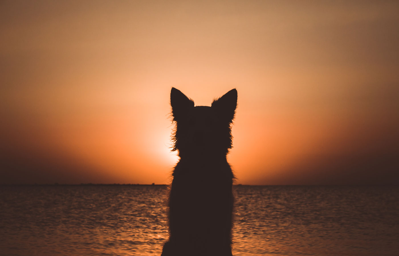 Silhouette of a white berger shepherd dog. Dog sits and looks at beautiful golden sunset (sunrise) near the ocean