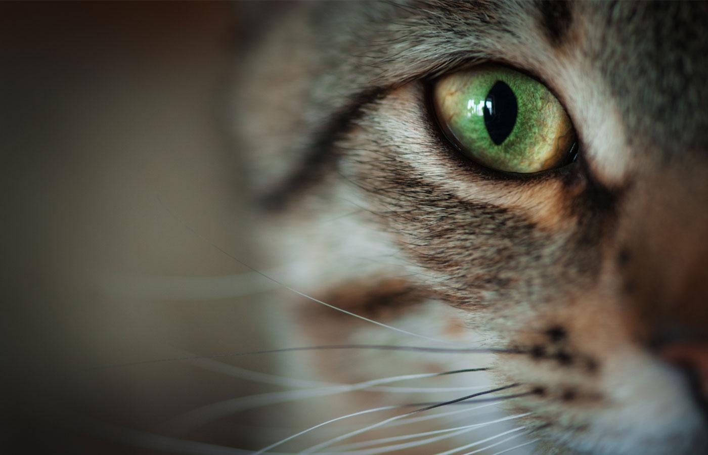 Closeup of tabby cat face.